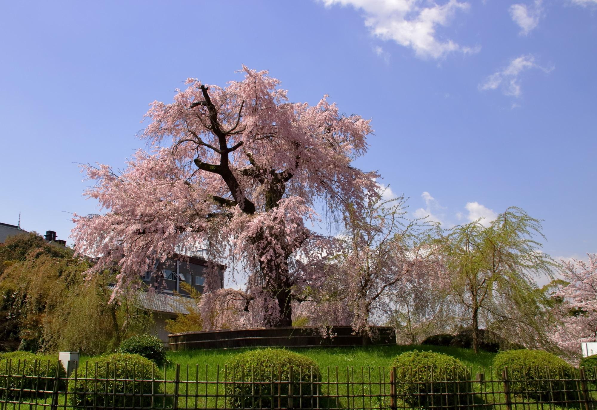円山公園の大しだれ桜