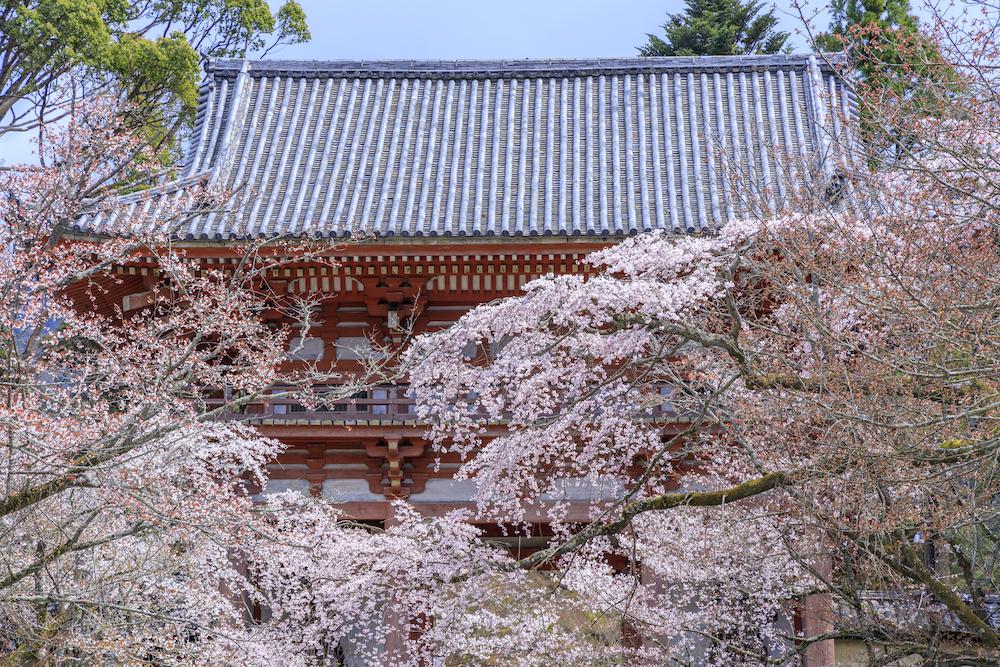 醍醐の桜について