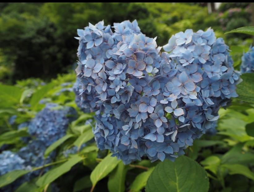 瓢斗,紫陽花,京都,三室戸寺